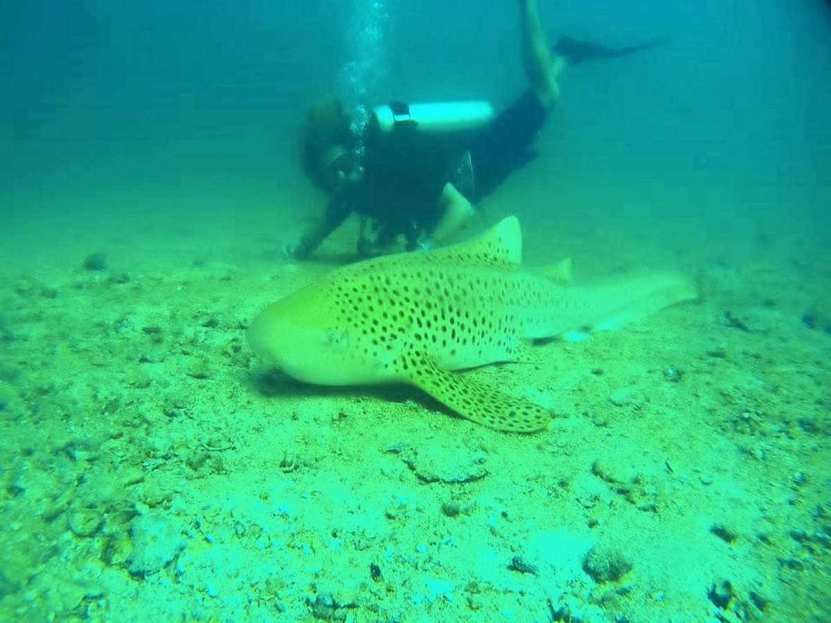 Beachfront Divers - Koh Phi Phi - PADI Leopard Shark #ppbf.jpg