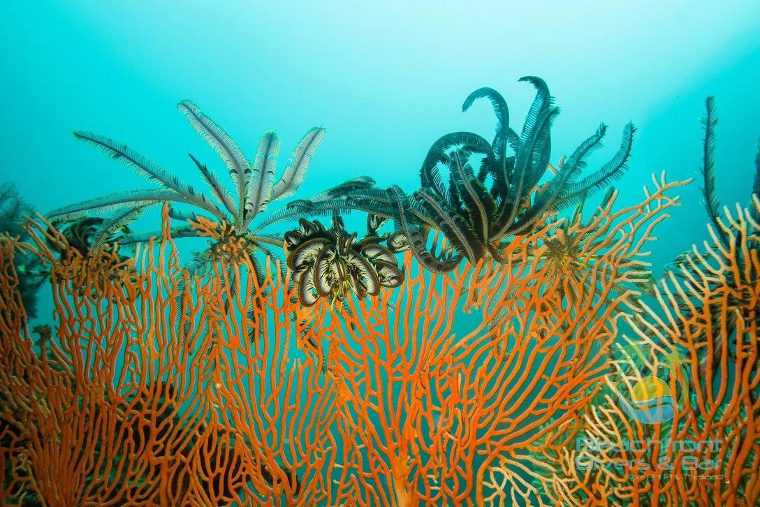 Coral Reefs - Phi Phi Islands - Beachfront Divers