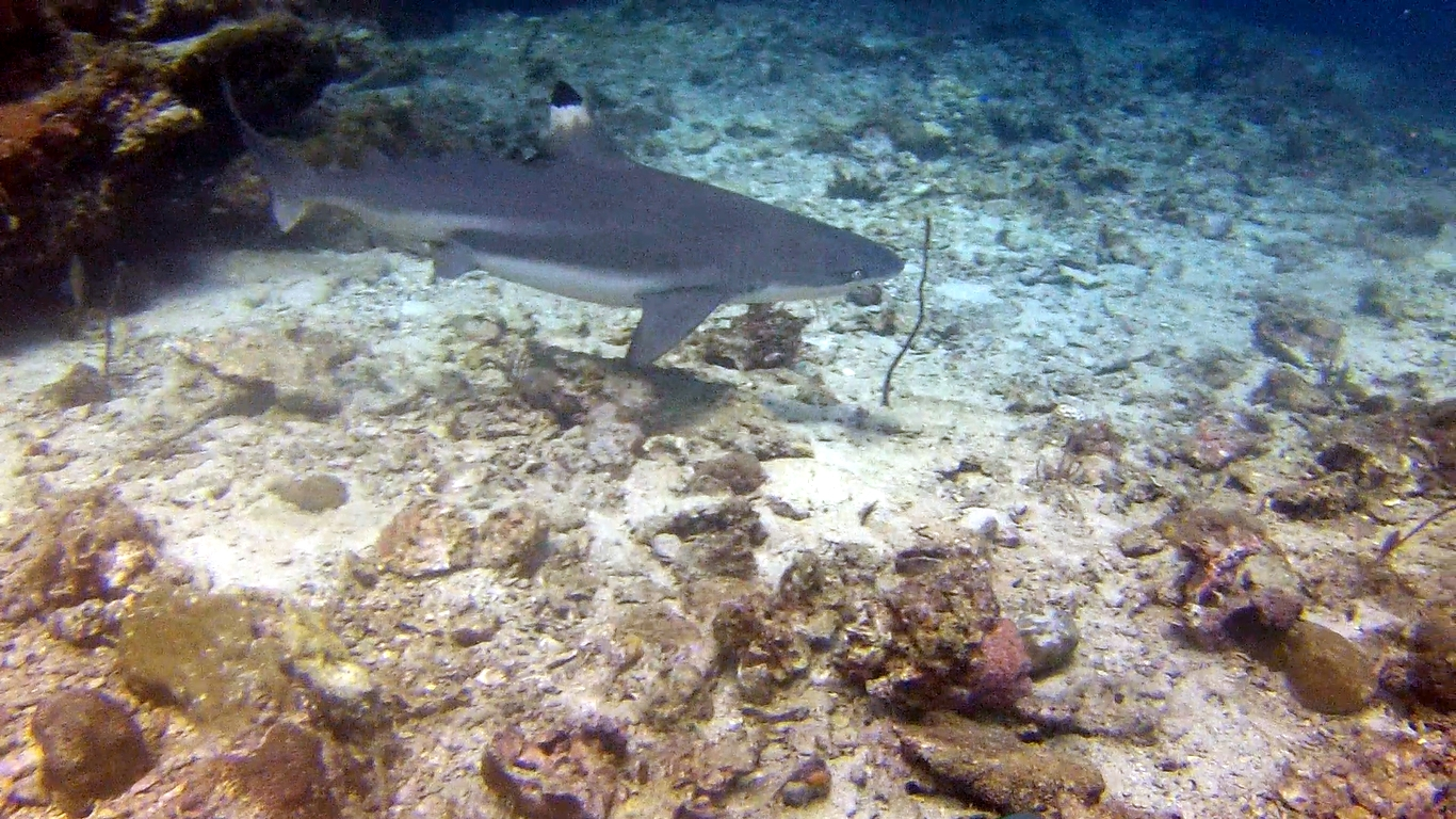 Black Tip Reef Shark - Beachfront Divers - Phi Phi, Thailand