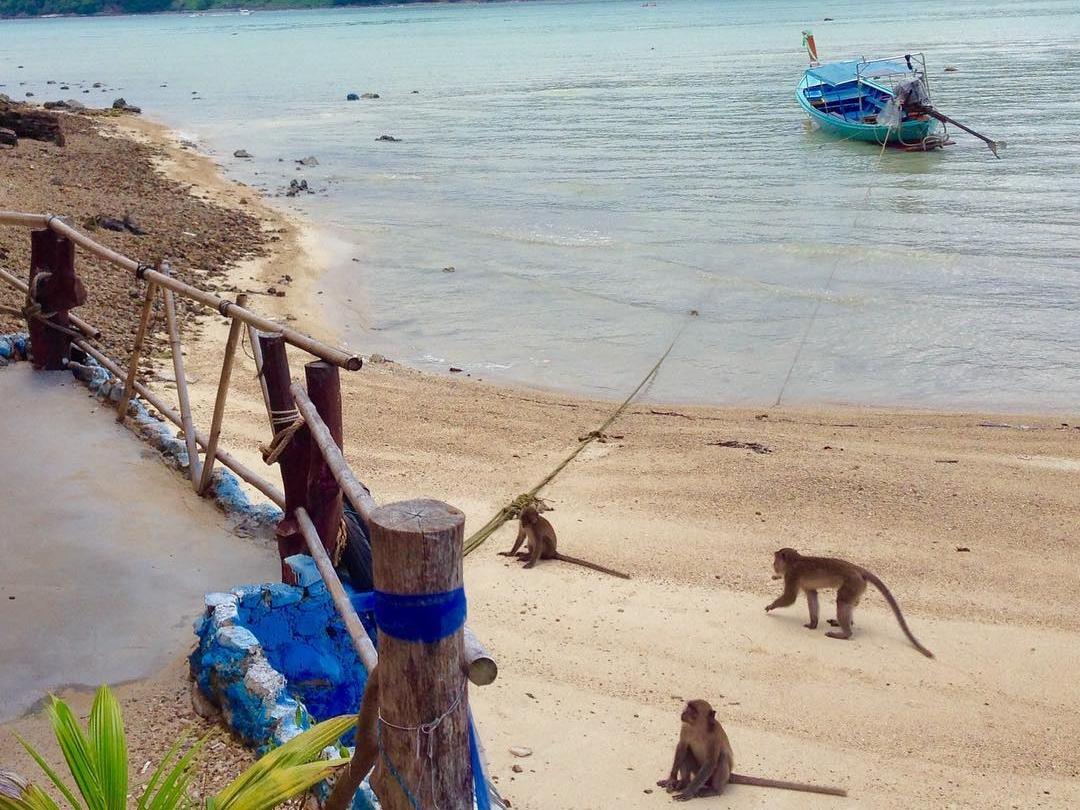 Macaque Monkeys - Phi Phi Thailand
