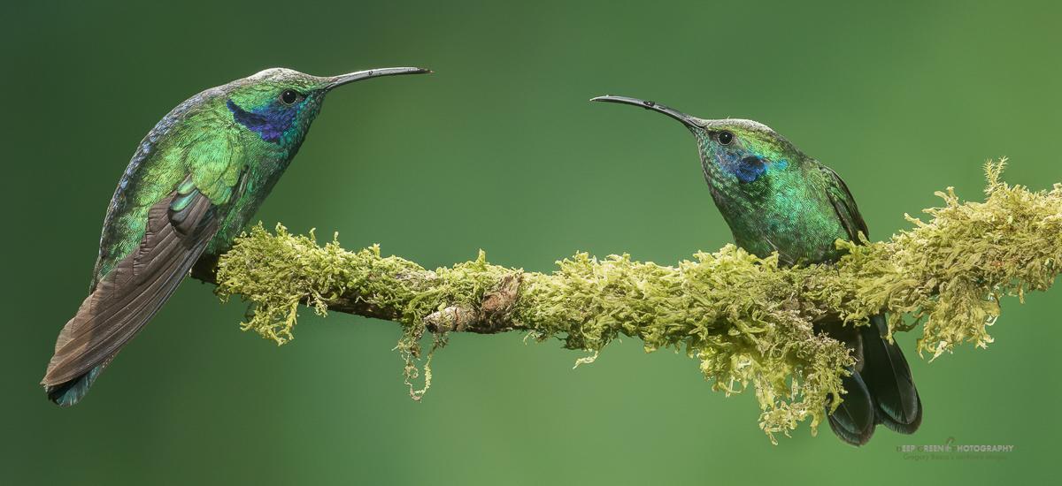 DGPstock-hummingbirds-11.jpg