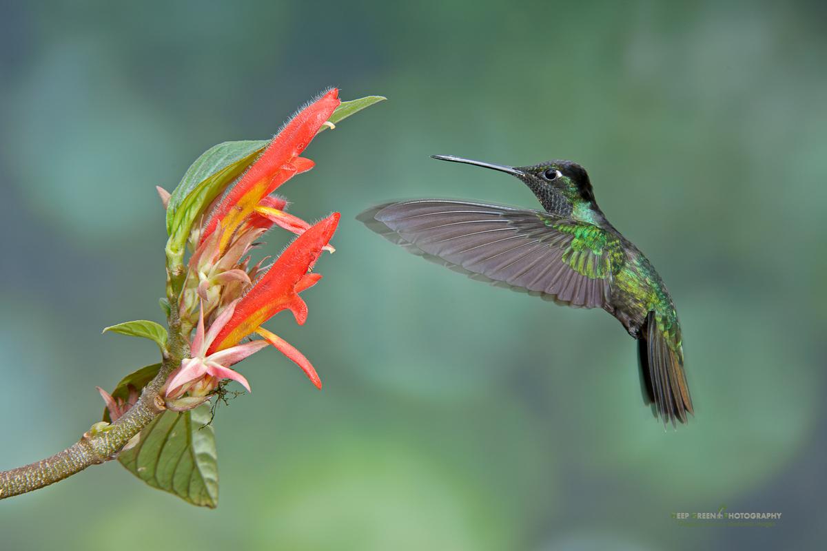 DGPstock-hummingbirds-71.jpg