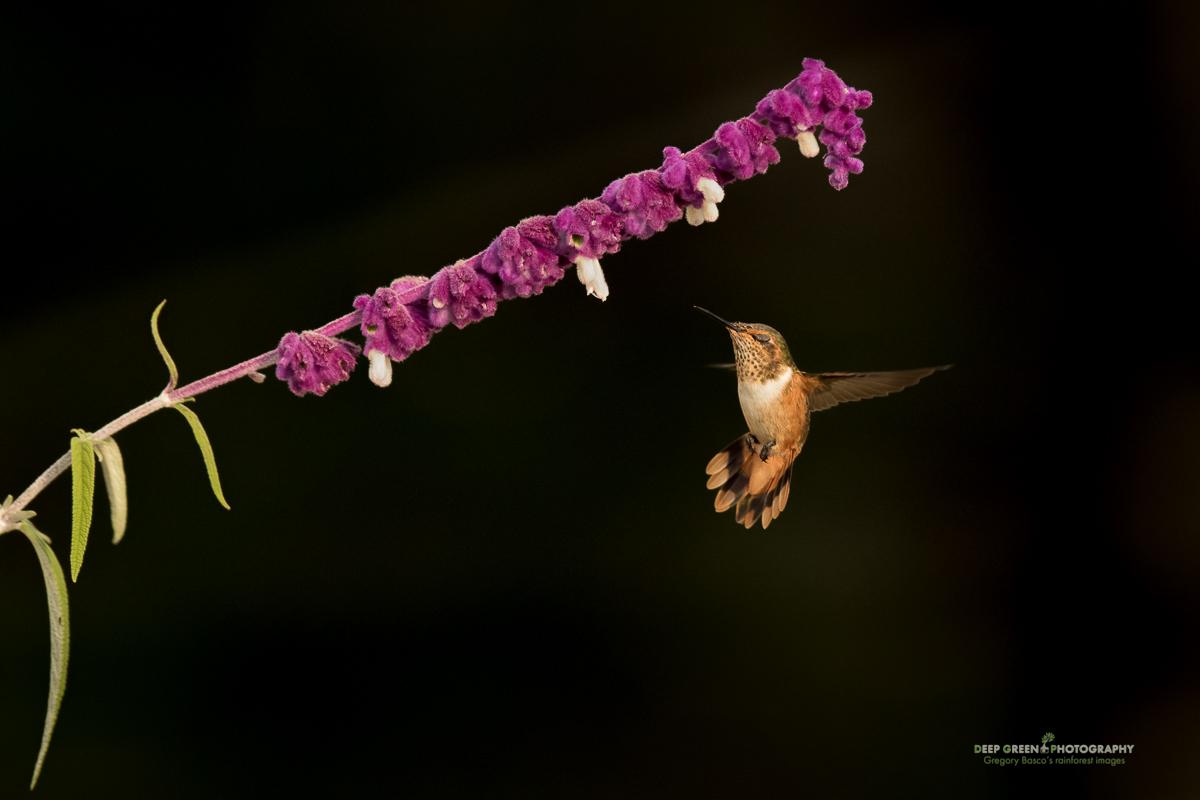 DGPstock-hummingbirds-106.jpg