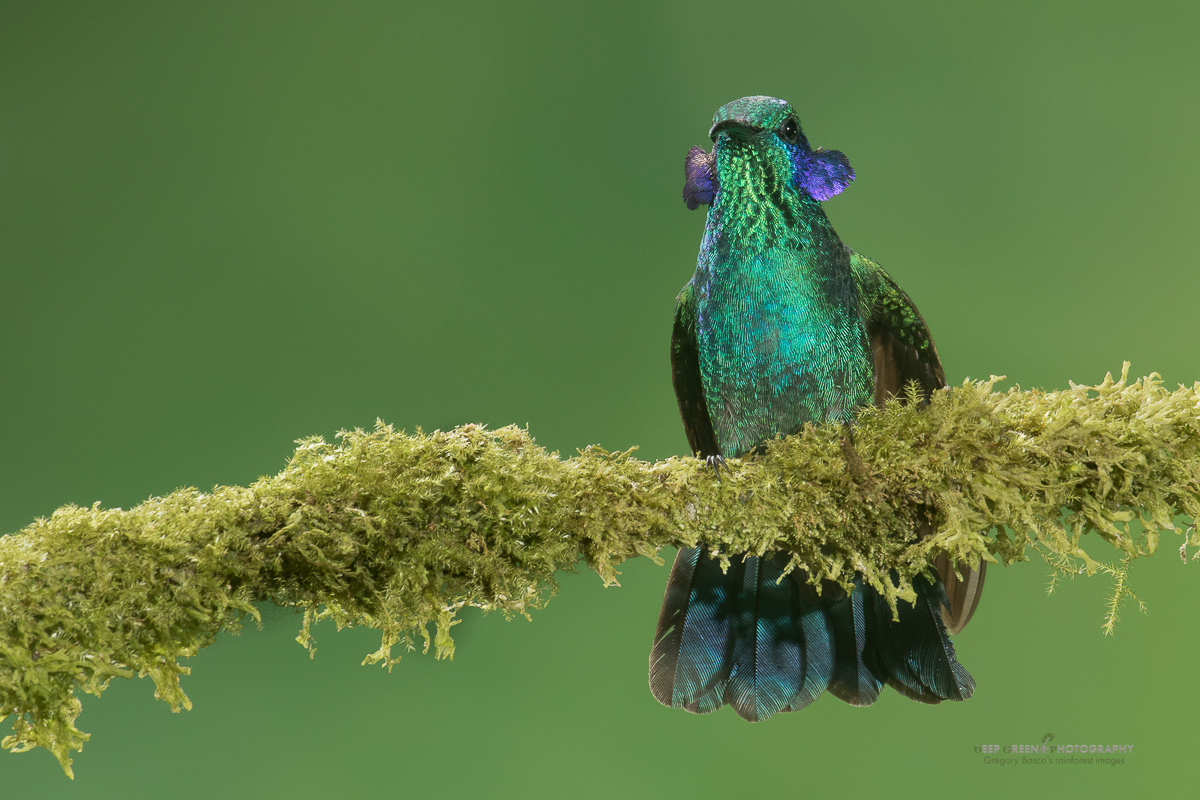 DGPstock-hummingbirds-12.jpg