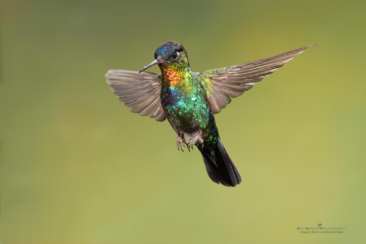 DGPstock-hummingbirds-17.jpg