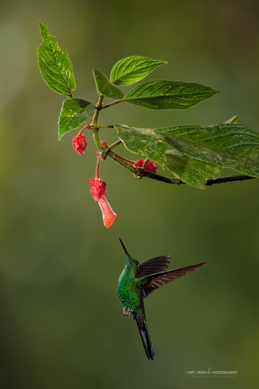 DGPstock-hummingbirds-23.jpg