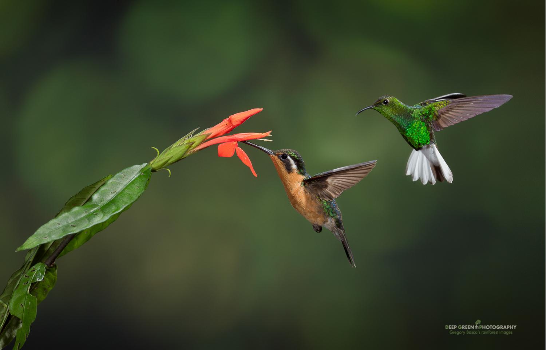 DGPstock-hummingbirds-39.jpg