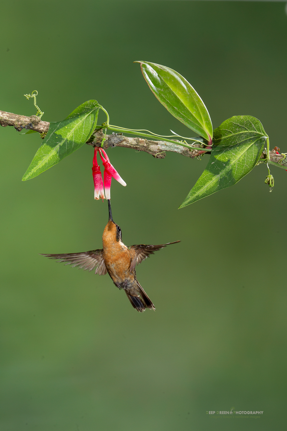 DGPstock-hummingbirds-29.jpg