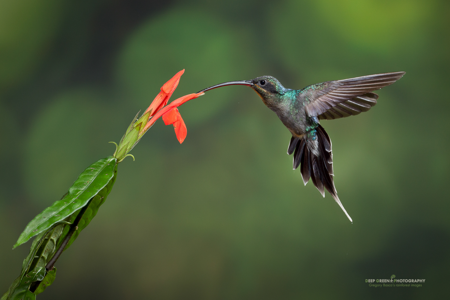 DGPstock-hummingbirds-42.jpg