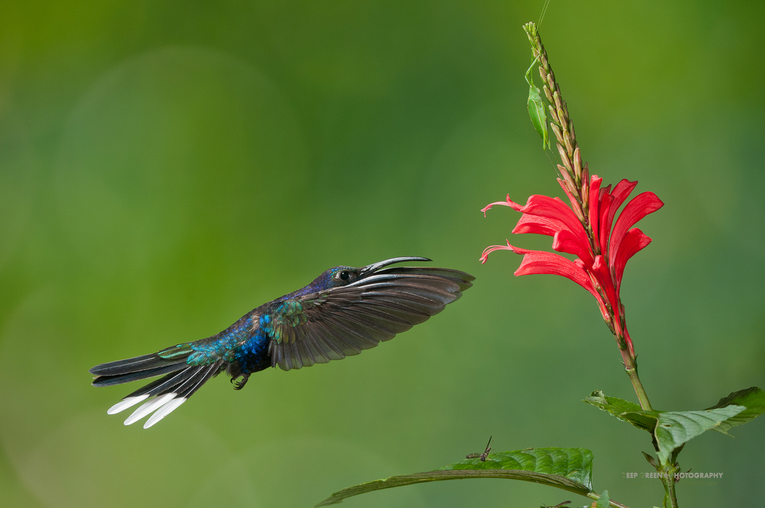 DGPstock-hummingbirds-44.jpg