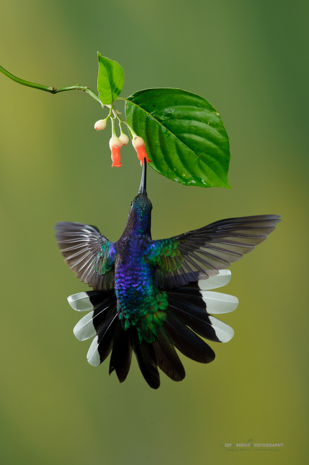 DGPstock-hummingbirds-58.jpg