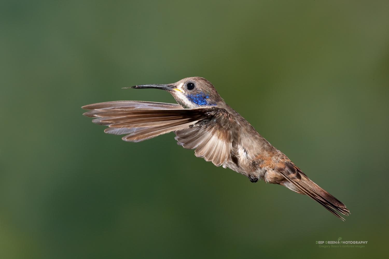 DGPstock-hummingbirds-79.jpg
