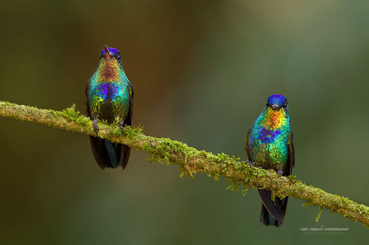 DGPstock-hummingbirds-16.jpg