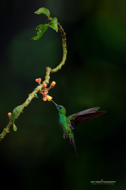 DGPstock-hummingbirds-49.jpg
