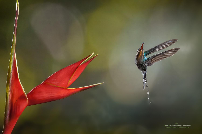 DGPstock-hummingbirds-55.jpg