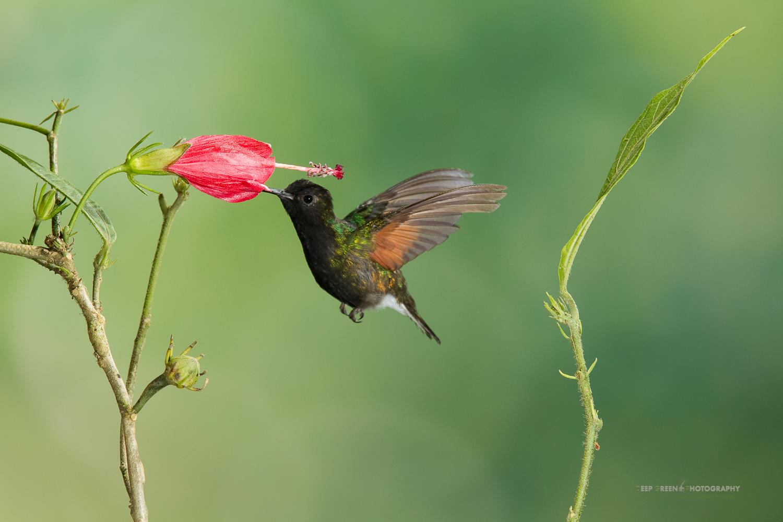 DGPstock-hummingbirds-74.jpg
