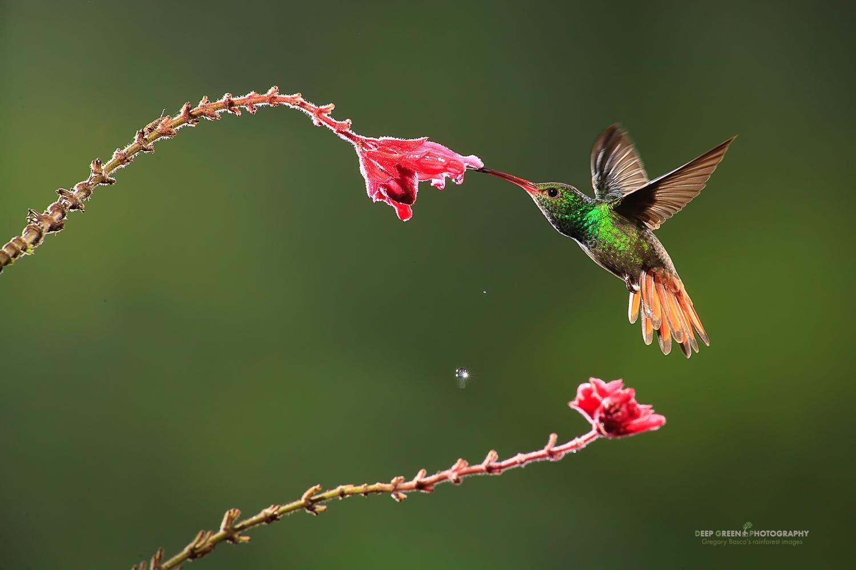 DGPstock-hummingbirds-89.jpg