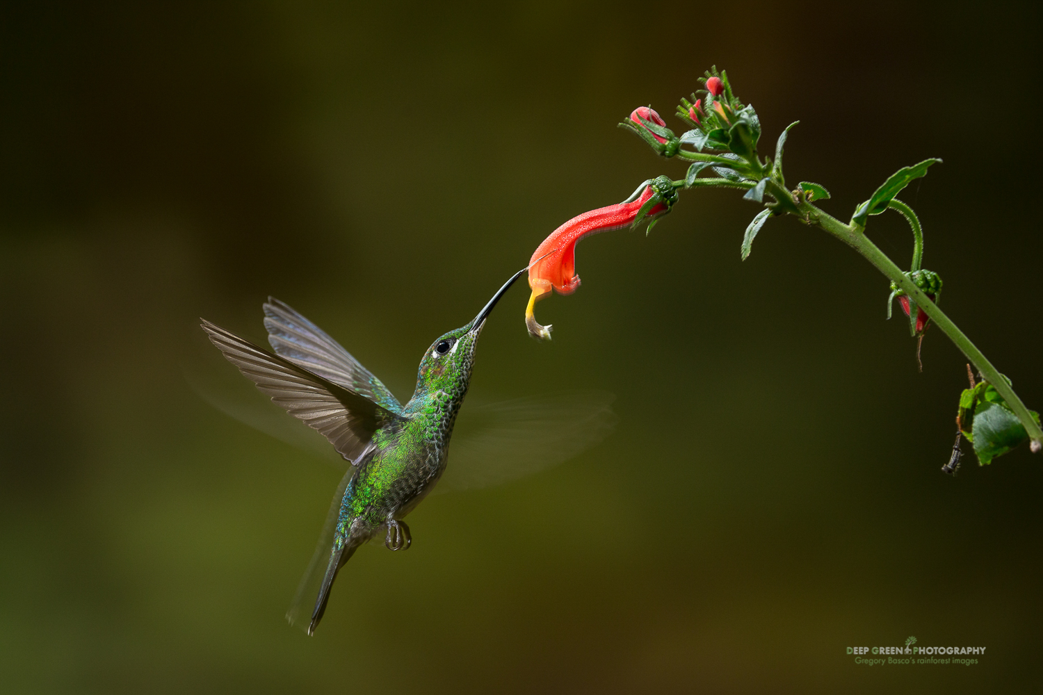 DGPstock-hummingbirds-21.jpg