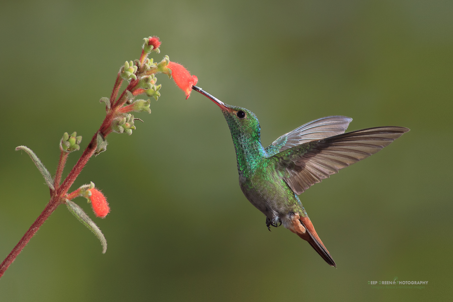 DGPstock-hummingbirds-50.jpg