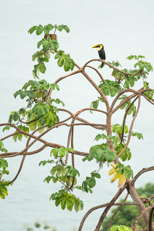 chesnut-mandibled-toucan-costa-rica-3495.jpg