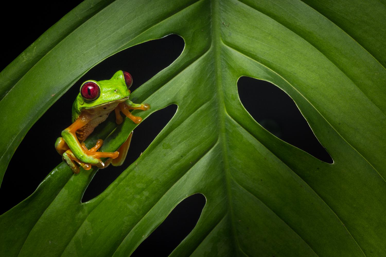 red-eyed-treefrog-costa-rica-3140.jpg