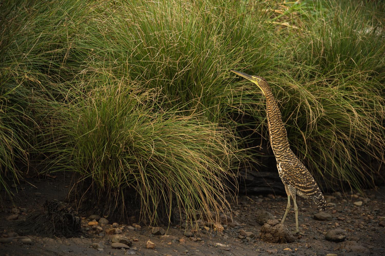 tiger-heron-tarcoles-2550.jpg