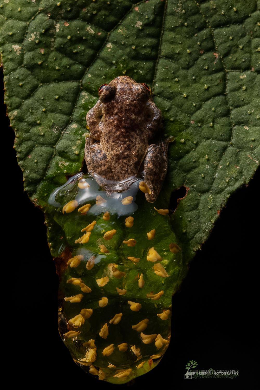 DGPstock-frogs-64.jpg