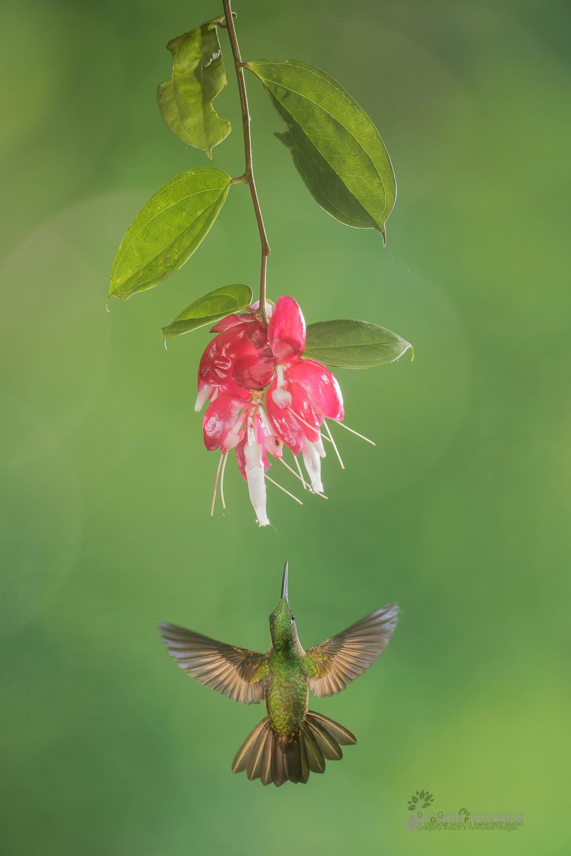 DGPstock-hummingbirds-3.jpg