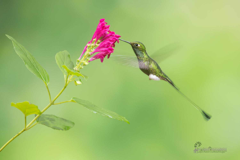 DGPstock-hummingbirds-8.jpg