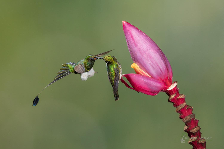 DGP-stock-hummingbirds-127.jpg