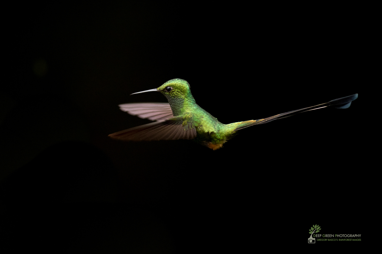 DGP-stock-hummingbirds-135.jpg