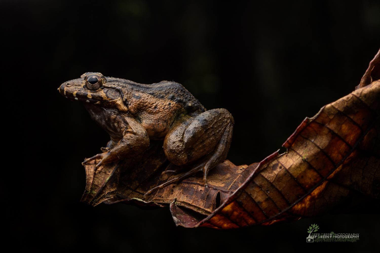 DGPstock-frogs-63.jpg