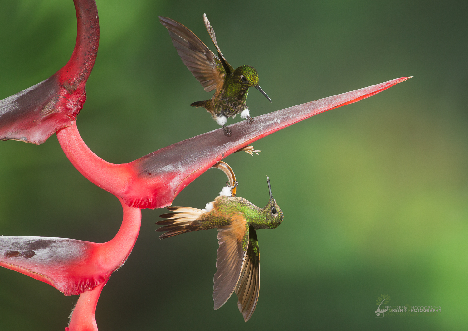 DGPstock-hummingbirds-5.jpg