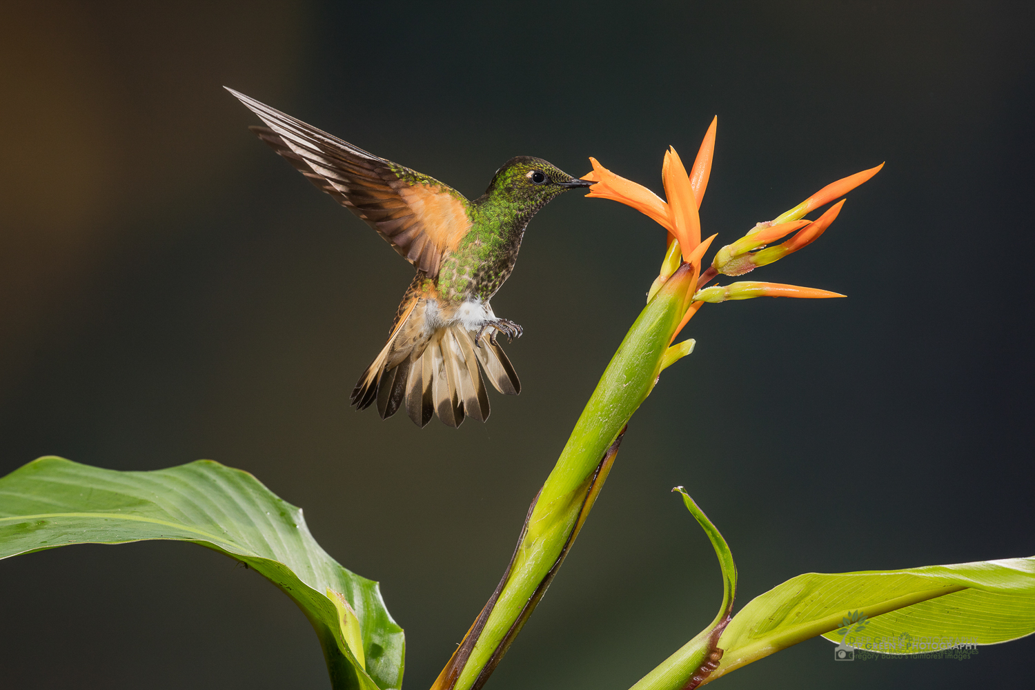 DGPstock-hummingbirds-106-2.jpg