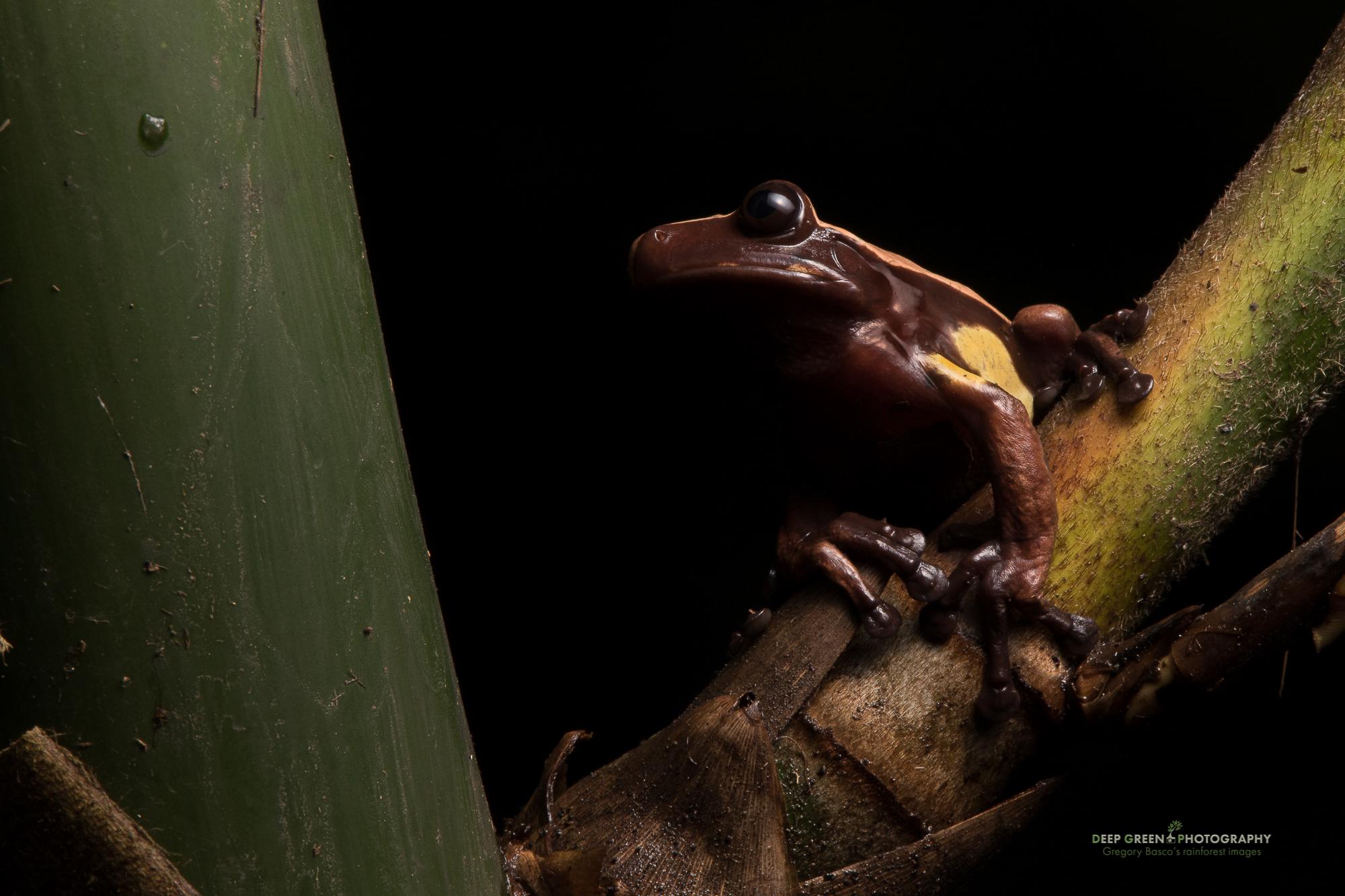 DGPstock-frogs-68.jpg