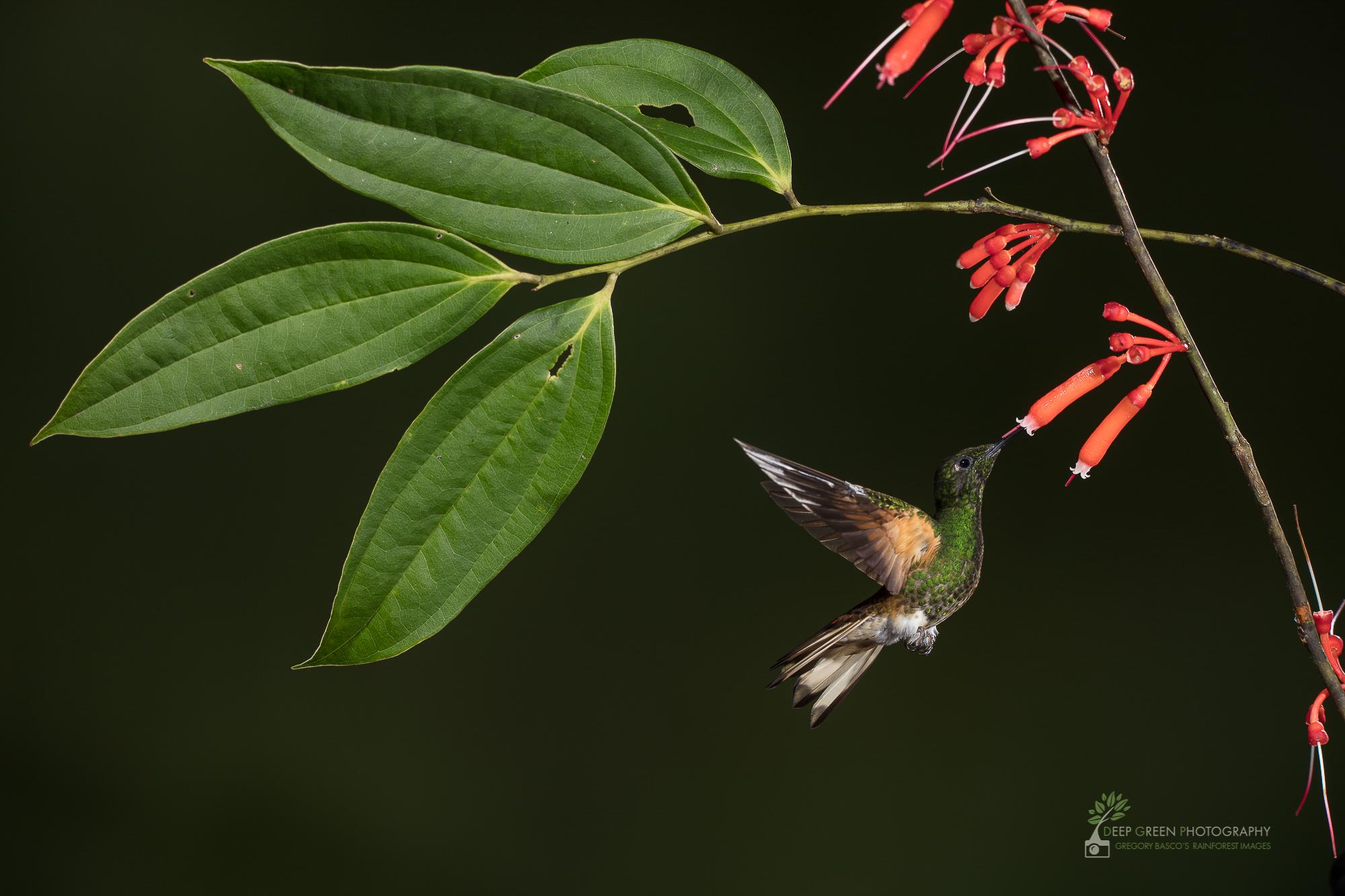 DGP-stock-hummingbirds-131.jpg