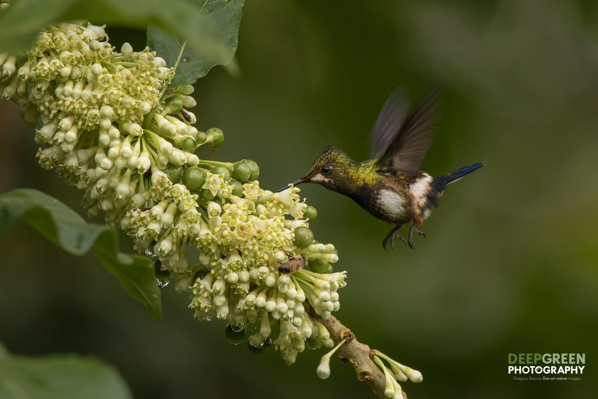 DGPstock-hummingbirds-120.jpg