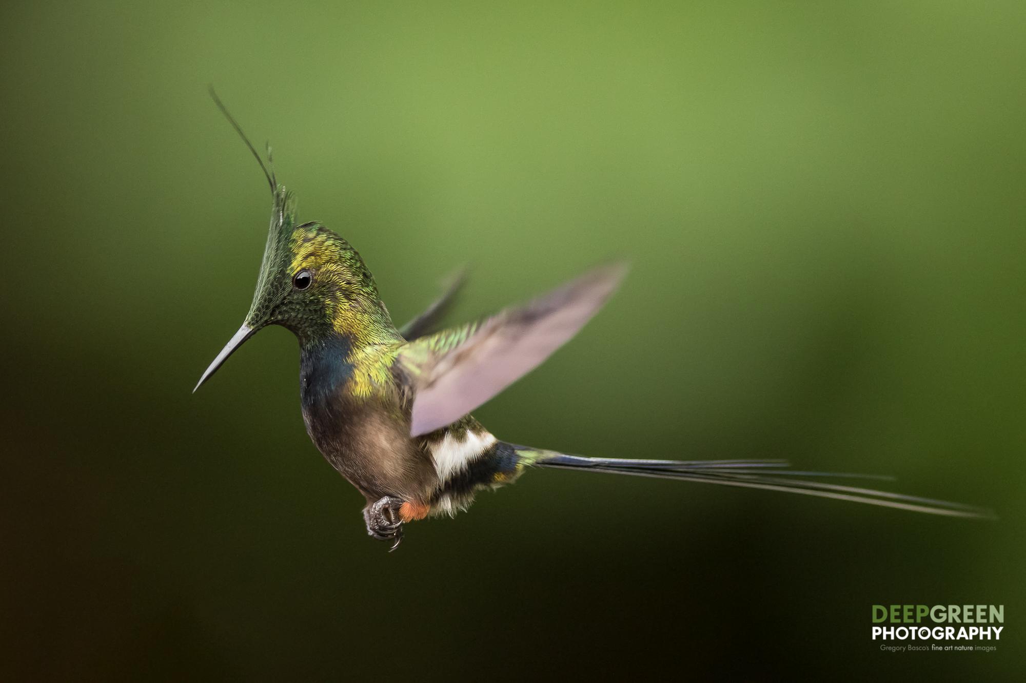 DGP-stock-hummingbirds-132.jpg