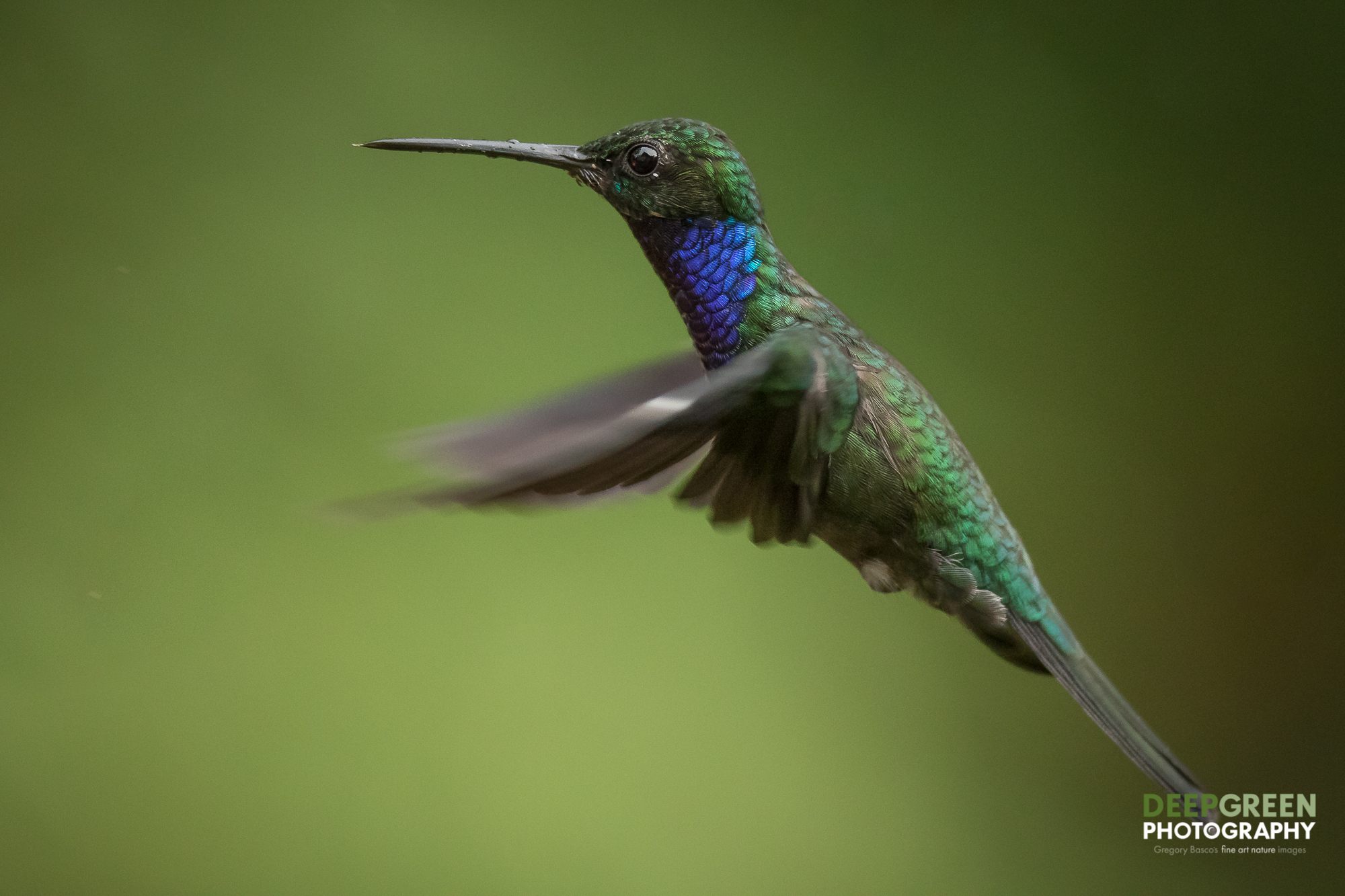 DGP-stock-hummingbirds-134.jpg