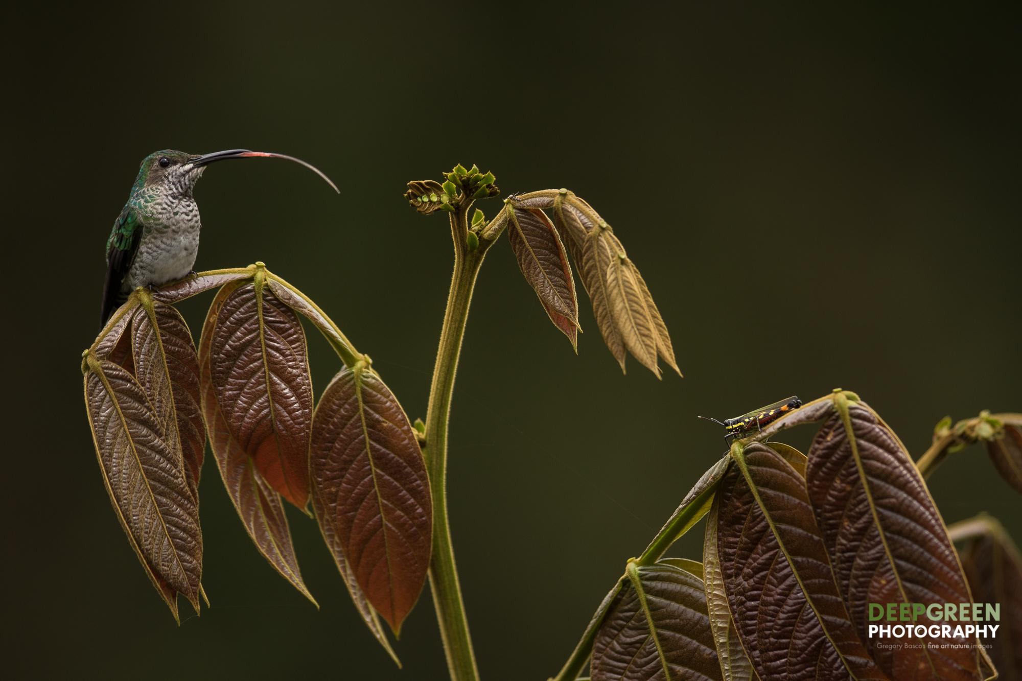 DGPstock-hummingbirds-148.jpg