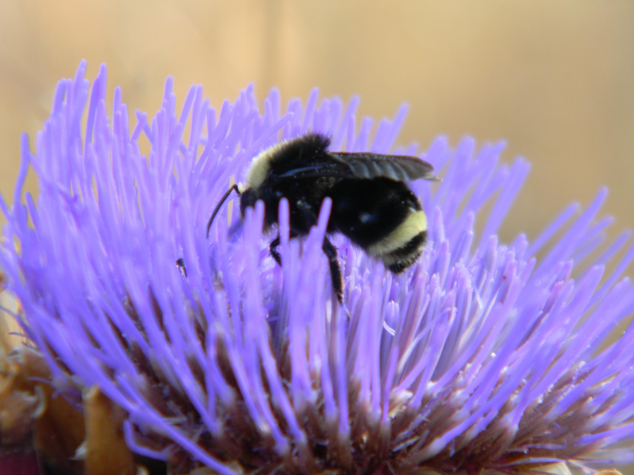 Bee pollinating a Late Summer Cardoon