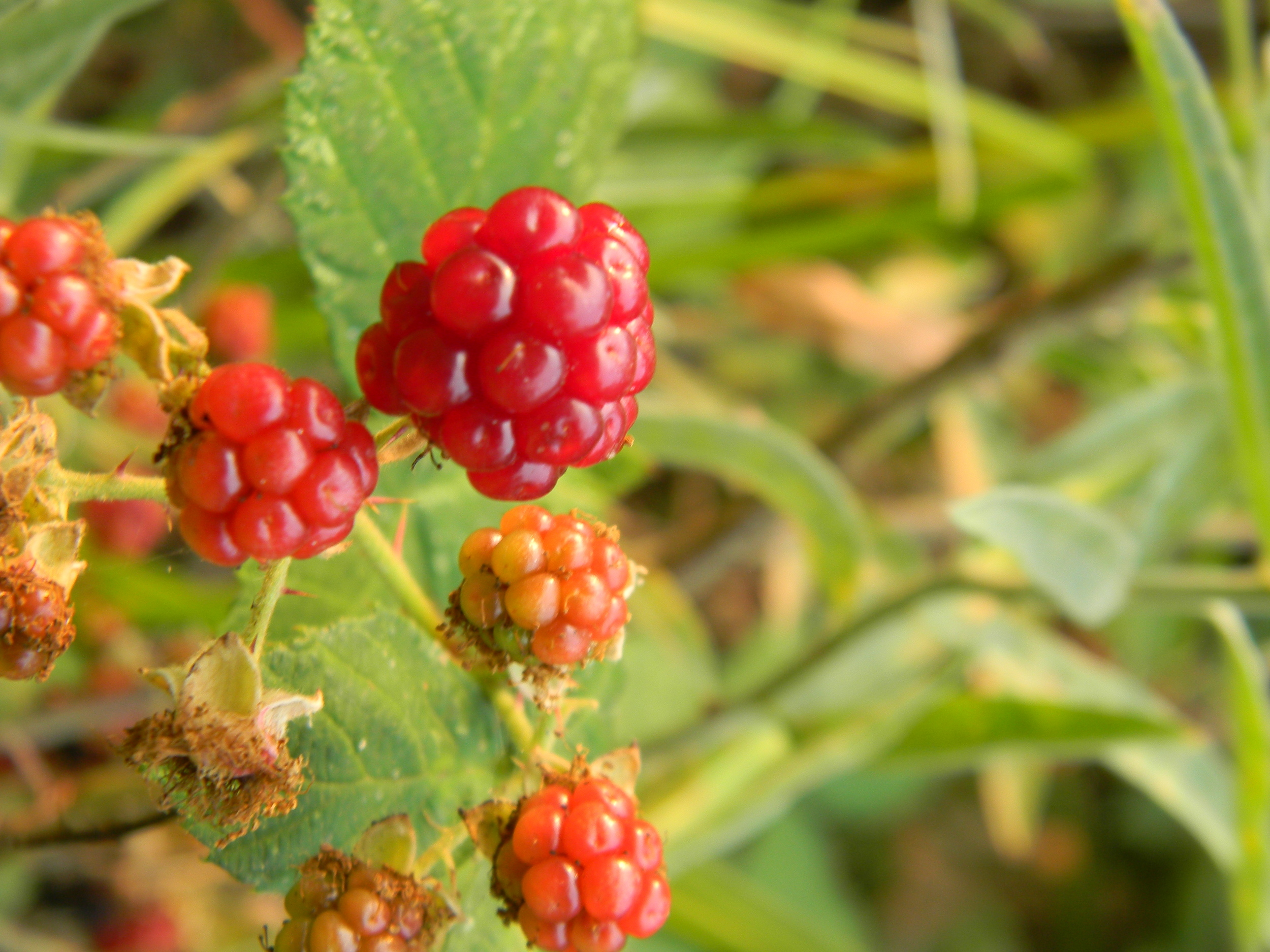 Wild Blackberries, by the Trinity River, out back...