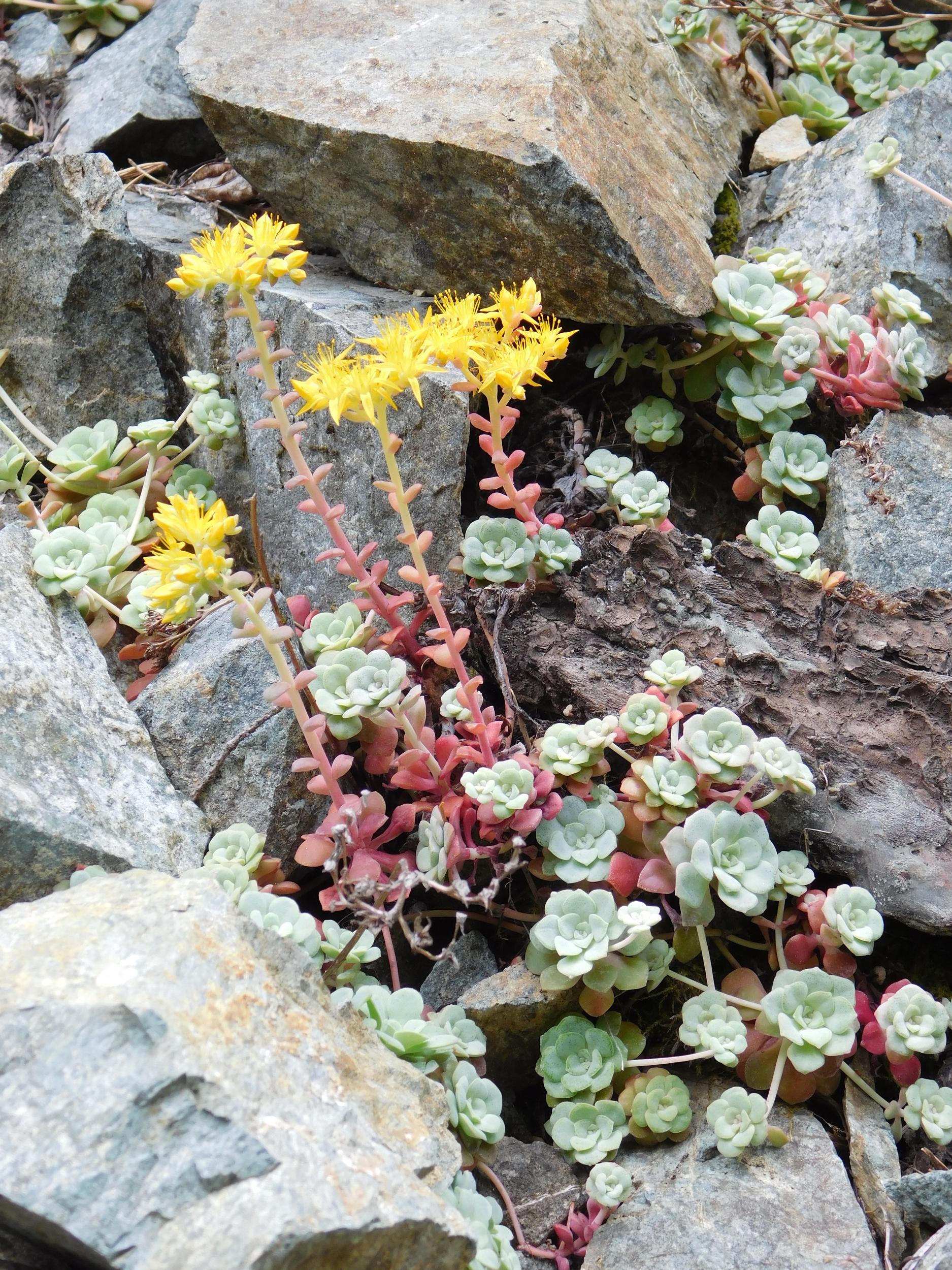 Mountain Succulents