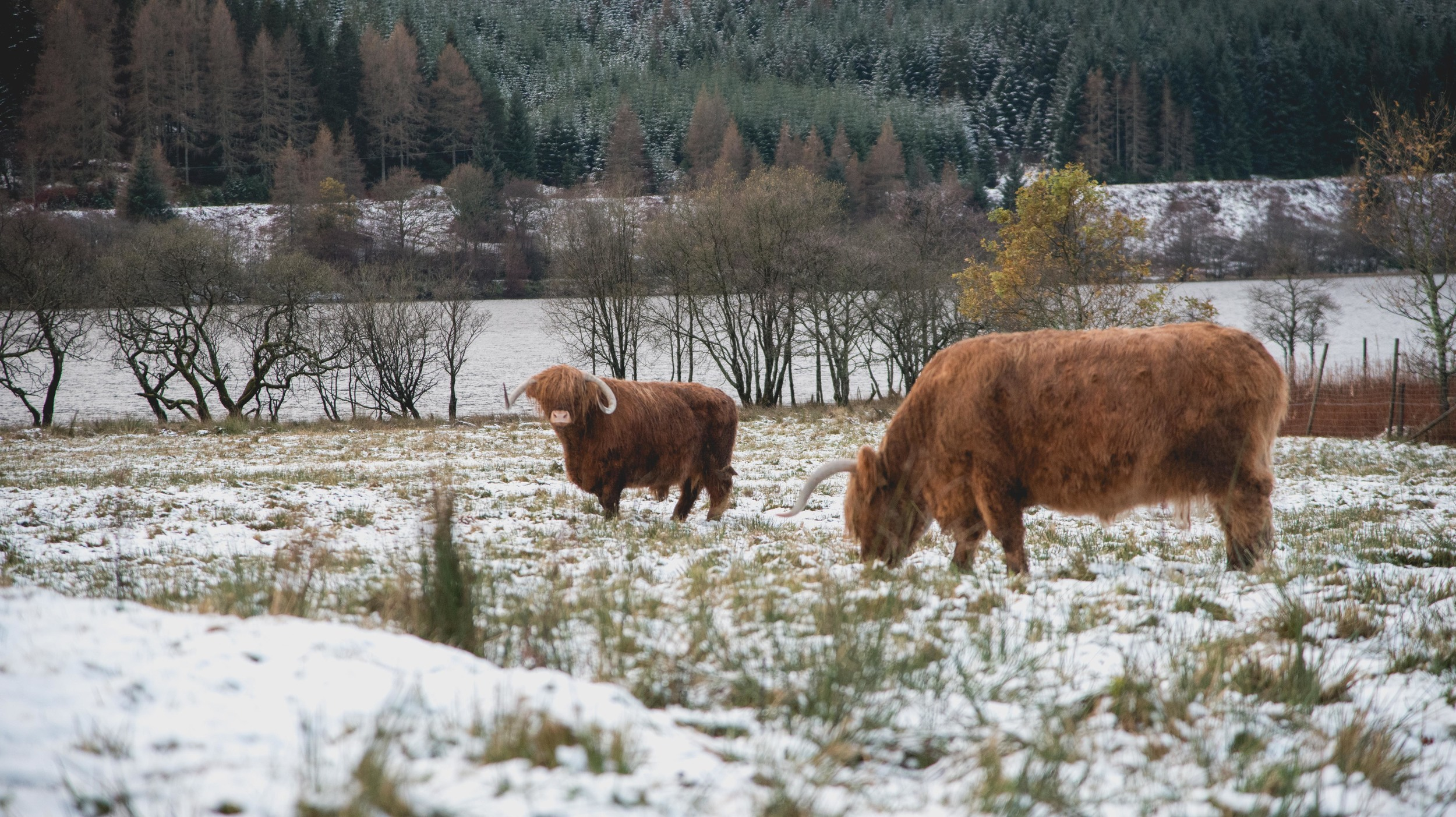 A few shaggy Highland Cows.