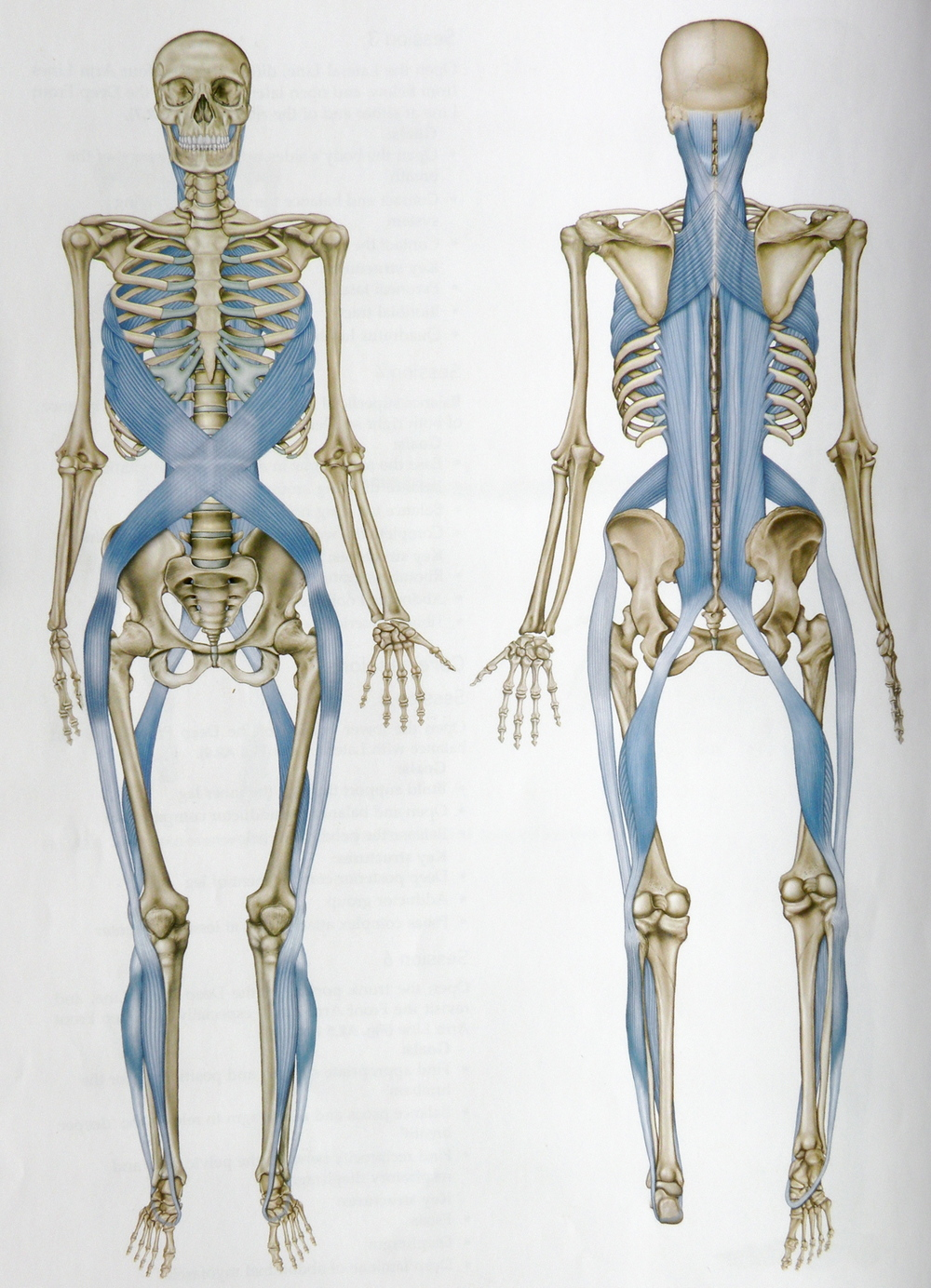 The Superficial Posterior Line - One of the 6 major fascia chains