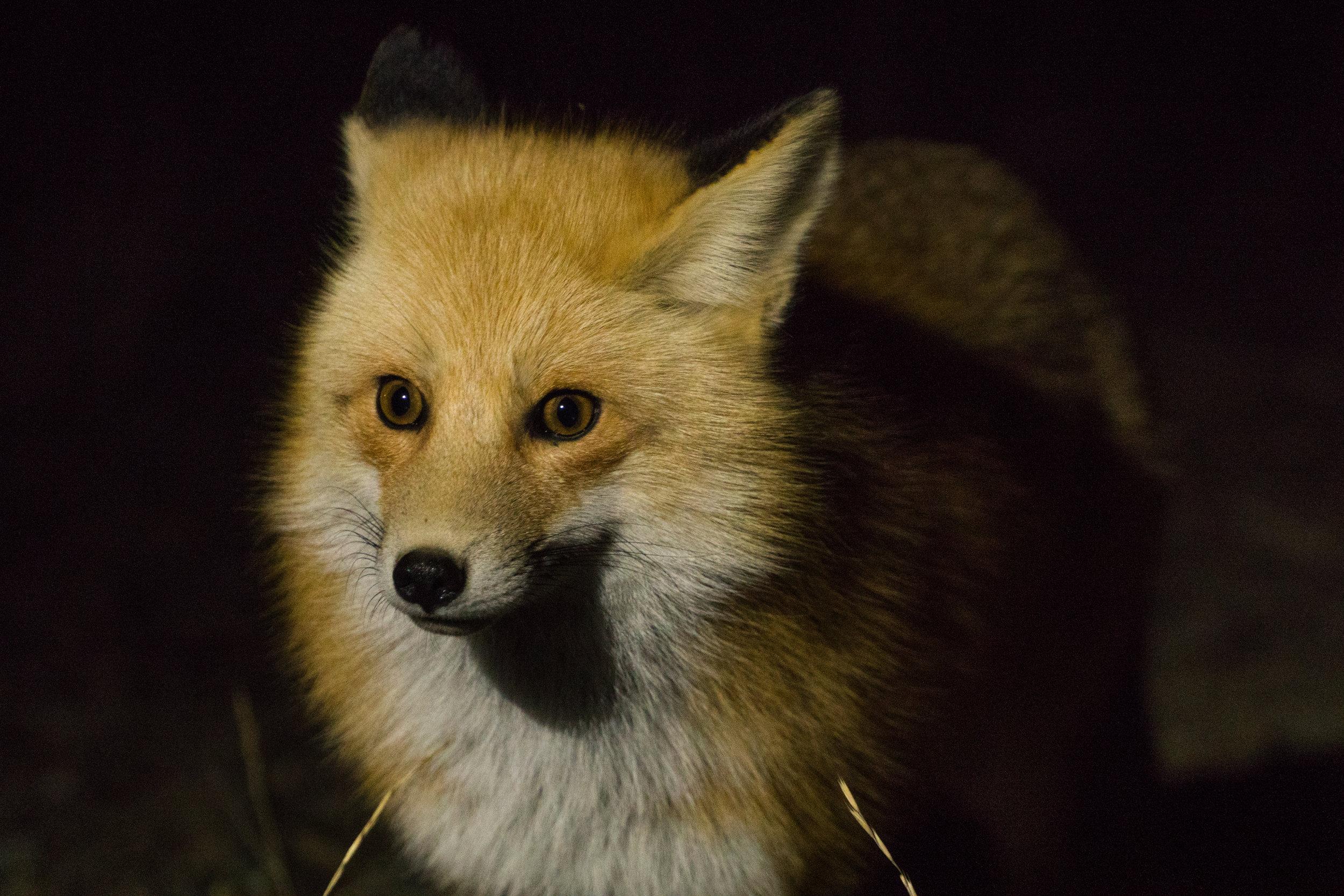10-2017-Yellowstone-fox-1.jpg