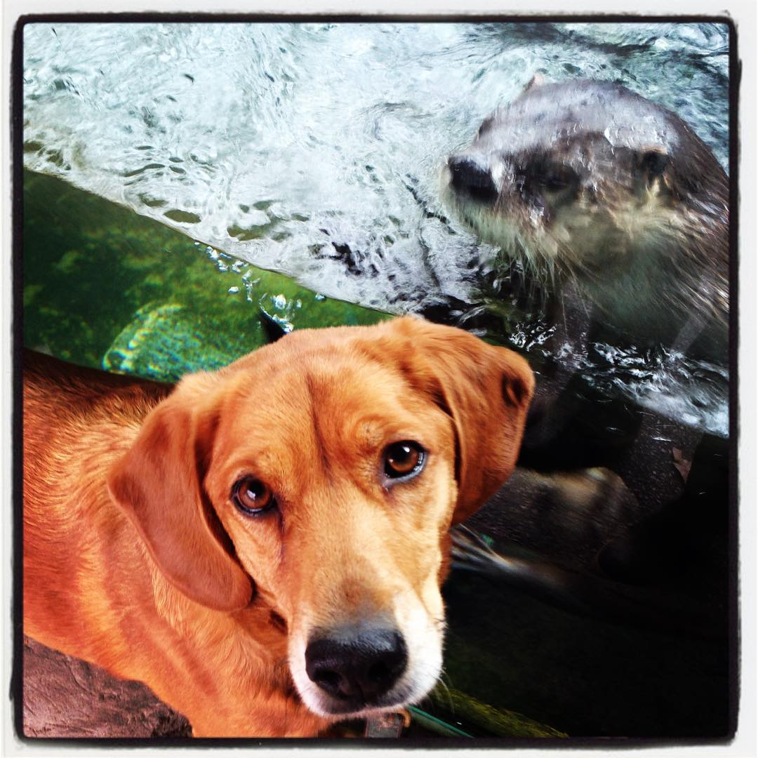 Oscar ❤️s Hannah. #zoodog #stlzoo #otterlove  (at Saint Louis Zoo)