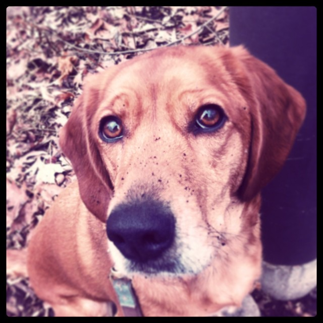 Muddy nosed digger dog #zoodog #stlzoo #misshannah