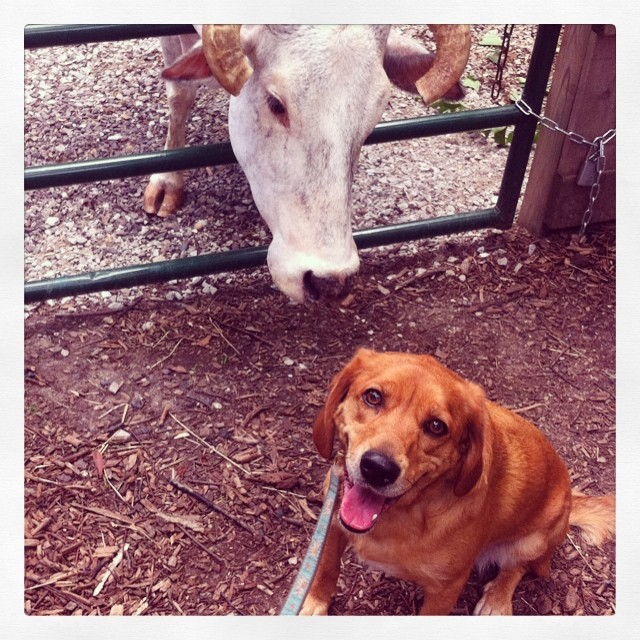 Best friends. #bubblesthezebu #zoodog #stlzoo