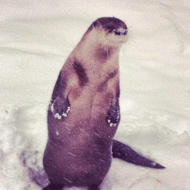 Snowy otter paws…